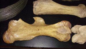 берцовая-кость-мамонта