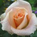 цветы 020